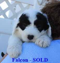 Friendly Chaucer Puppies 8 4 08 313