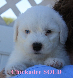 Friendly Chaucer Puppies 8 4 08 326